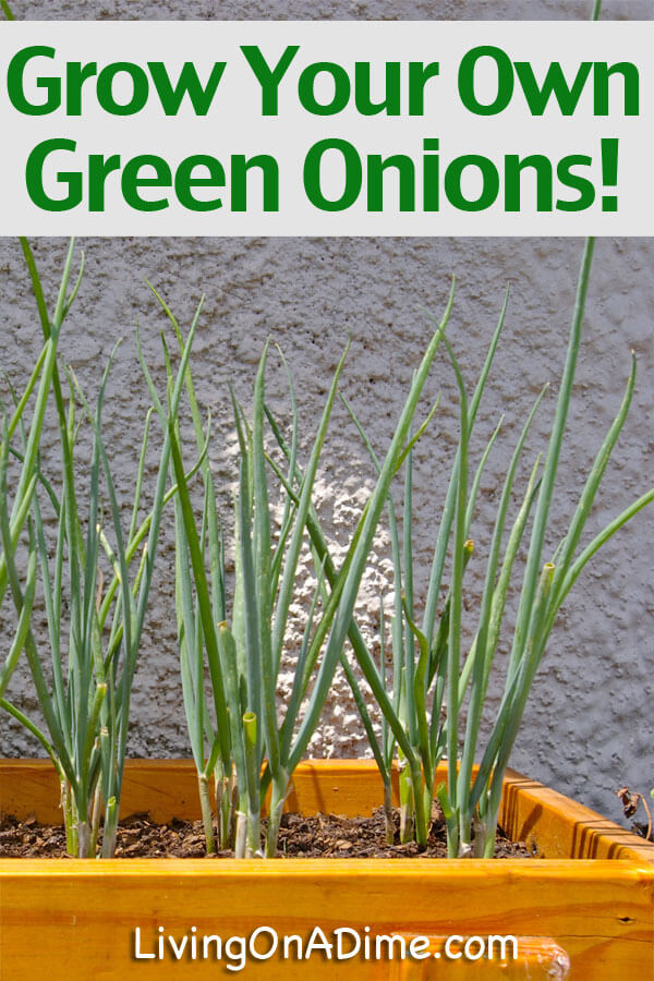 Plant And Grow Green Onions To Use In The House