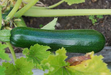 Fresh Zucchini - Using Zucchini Leftovers