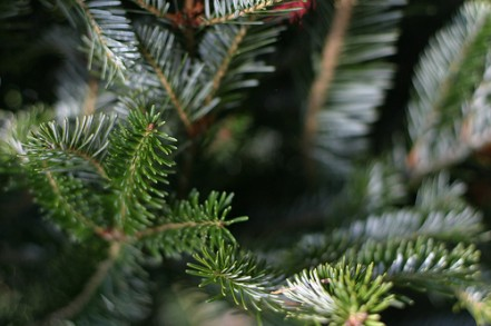 How to Care for a Christmas Tree. Christmas tree varieties require little care. Follow these few steps, and you should have great success with growing Christmas trees: 1. Year One Matters. During the first year of your seedlings growth, be sure to water them every week.