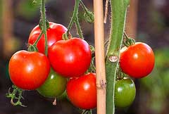 Charry tomatoes - garden harvest