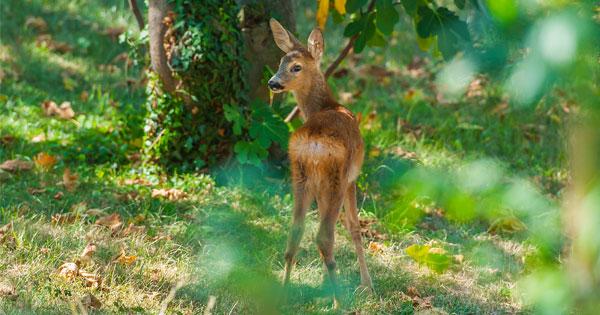 Homemade Deer Repellant Recipe
