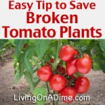 Easy Tip to Save Broken Tomato Plants - Garden Planting Tips