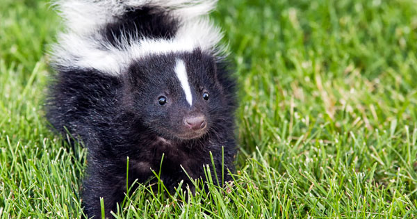 Homemade Skunk Smell Remover...that REALLY works!!!!